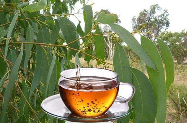 20170612 willyhern39164 id127715 Eucalipto Planta Medicinal - Eucalipto: árbol Medicinal con Propiedades Curativas Excepcionales - hermandadblanca.org