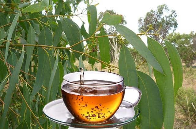 Eucalipto rbol medicinal con propiedades curativas for Planta decorativa con propiedades medicinales