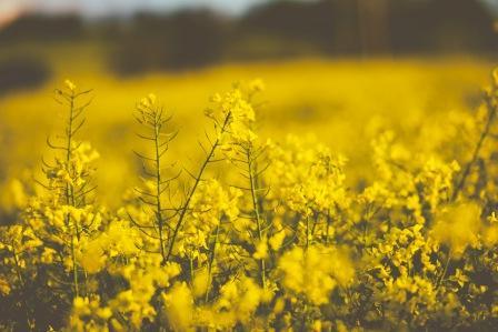 20170904 carolina396 id131748 Bright Yellow Oil Seed Flowers - Mensaje de Sananda ~ En tu interior, en tu santo santuario interno, encuentras la paz - hermandadblanca.org