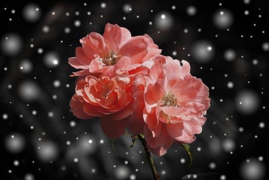 20170916 carolina396 id132306 rose flower flowers plant 40660 - Entrevista a María Eva Carnevale, Lectura de aura y Numerología - hermandadblanca.org
