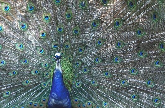 20171024 carolina396 id134197 peacock four spot feather bird 50702 - Cómo superar el orgullo: 4 pasos para vencer la arrogancia - hermandadblanca.org