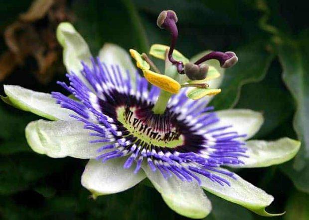 20180122 willyhern39164 id137351 img art 129 - La Passiflora: Beneficios y Propiedades de la Flor de la Pasión - hermandadblanca.org