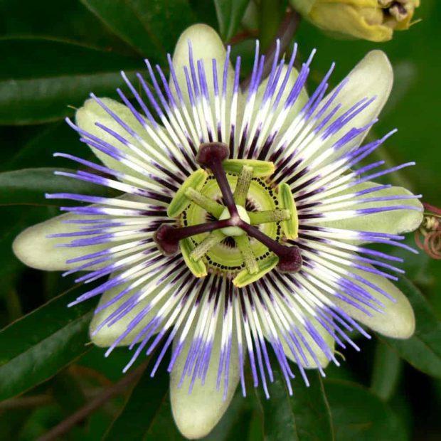 20180122 willyhern39164 id137351 Passion Flower Osaka - La Passiflora: Beneficios y Propiedades de la Flor de la Pasión - hermandadblanca.org