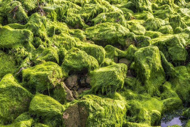 Plant Colors Algae Green Brittany Seaside Rocks - Algoterapia: tratamientos de salud y estética con algas marinas - hermandadblanca.org