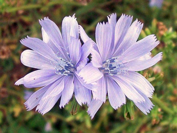 id147189 chicory achicoria 2 - Flores de Bach: Chicory (Achicoria) - hermandadblanca.org
