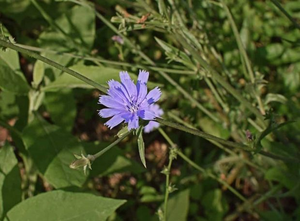 id147189 chicory achicoria 3 - Flores de Bach: Chicory (Achicoria) - hermandadblanca.org