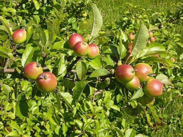 id147329 crab apple 2 - Flores de Bach: Crab Apple (Manzana silvestre) - hermandadblanca.org