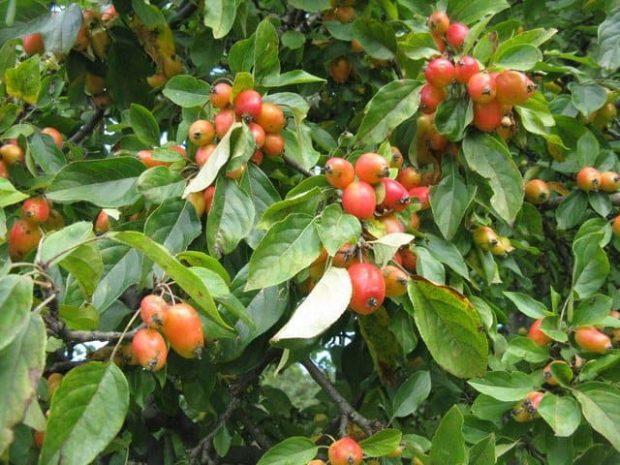 id147329 crab apple - Flores de Bach: Crab Apple (Manzana silvestre) - hermandadblanca.org