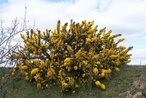 id147595 gorse 2 - Flores de Bach: Gorse (Aulaga) - hermandadblanca.org