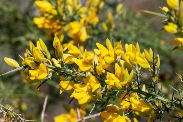 id147595 gorse 3 - Flores de Bach: Gorse (Aulaga) - hermandadblanca.org