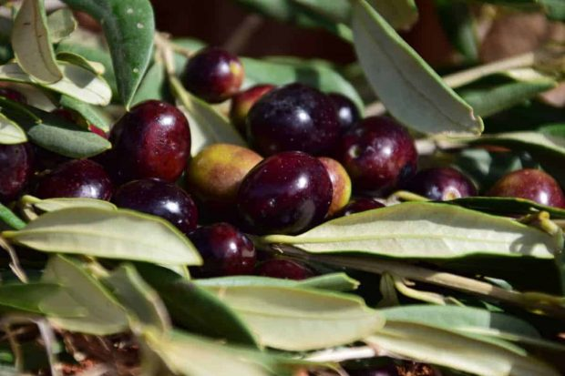 olive 2 flores de bach: olive (olivo) ID148395 - hermandadblanca.org