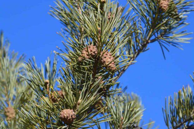 pine 2 flor de bach: pine (pino) ID148531 - hermandadblanca.org