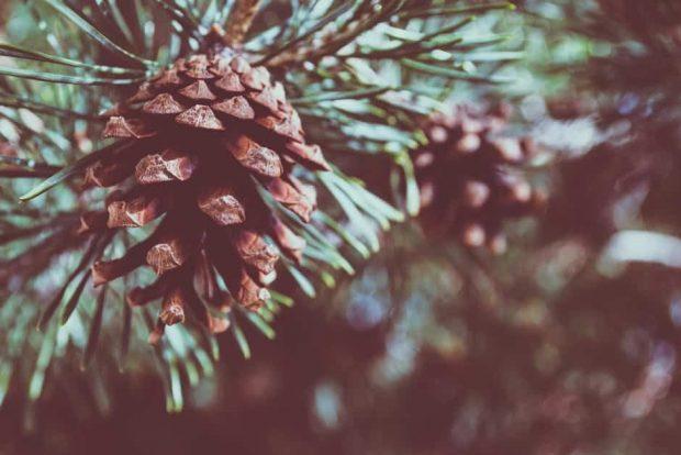 pine 3 flor de bach: pine (pino) ID148531 - hermandadblanca.org