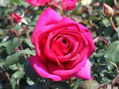 rosier rose 696×522 mensaje la madre maría: si sus vidas son rosas, sus almas representan ID149591 - hermandadblanca.org