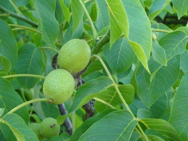 walnut 2 flores de bach: walnut (nogal) ID149531 - hermandadblanca.org