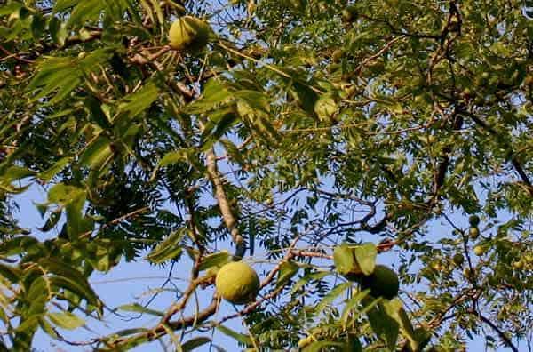 walnut 3 flores de bach: walnut (nogal) ID149531 - hermandadblanca.org