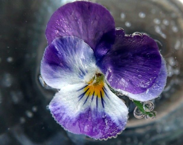 water violet flores de bach: water violet (violeta de agua) ID149639 - hermandadblanca.org