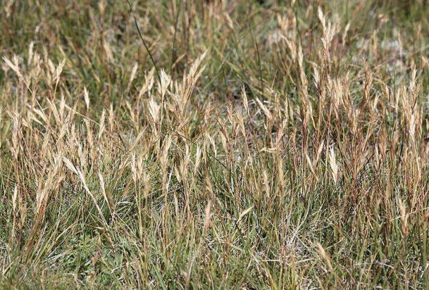 wild oat 2 flores de bach: wild oat (avena silvestre) ID150167 - hermandadblanca.org