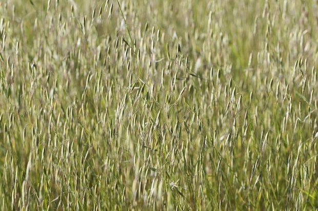 wild oat 3 flores de bach: wild oat (avena silvestre) ID150167 - hermandadblanca.org