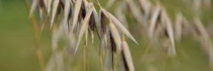 wild oat flores de bach: wild oat (avena silvestre) ID150167 - hermandadblanca.org