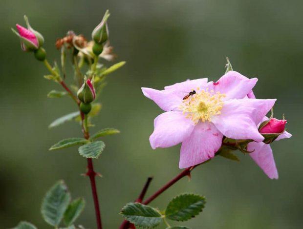 wild rose 2 flores de bach: wild rose (rosa silvestre o escaramujo) ID150483 - hermandadblanca.org