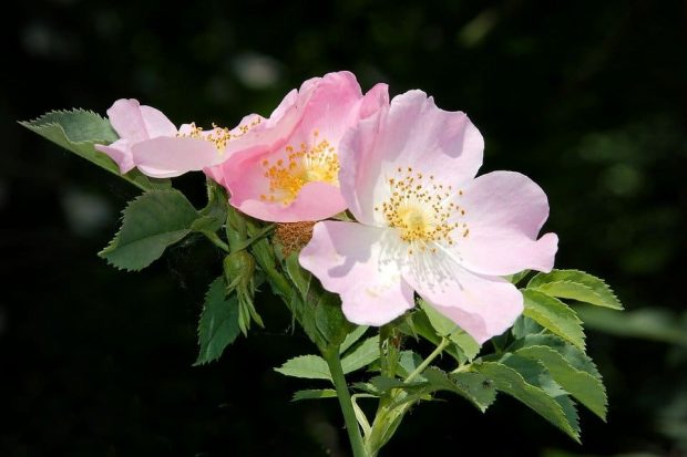 Bloom Pink Corymbifera Wild Rose Bush Rose Blossom - hermandadblanca.org