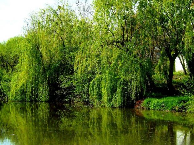 willow 2 flores de bach: willow (sauce) ID150549 - hermandadblanca.org