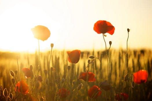 sunset poppy backlight 66274 mensaje del arcángel rafael: practiquen ver, oír y sentir con sus co ID152431 - hermandadblanca.org