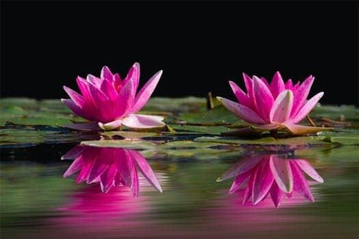 water lilies pink water lake 46231 el arcángel miguel acerca del amor propio… ¡las cosas están m ID152939 - hermandadblanca.org