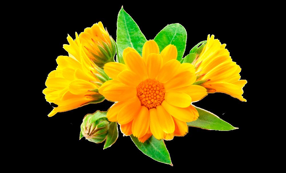 arnica en para mantener el cuerpo sano ¿por qué las plantas son esenciales y tan indispensables para recupe ID154323 - hermandadblanca.org