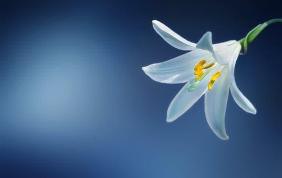 flower lily lilium candidum madonna lily la ola de unión que trae lo divino femenino, por lady quan yin ID154873 - hermandadblanca.org