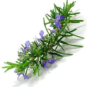 romero para mantener el cuerpo sano ¿por qué las plantas son esenciales y tan indispensables para recupe ID154323 - hermandadblanca.org