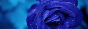 rose blue flower rose blooms 67636 amor + podcast – la bienvenida de la madre maría universal ID155061 - hermandadblanca.org