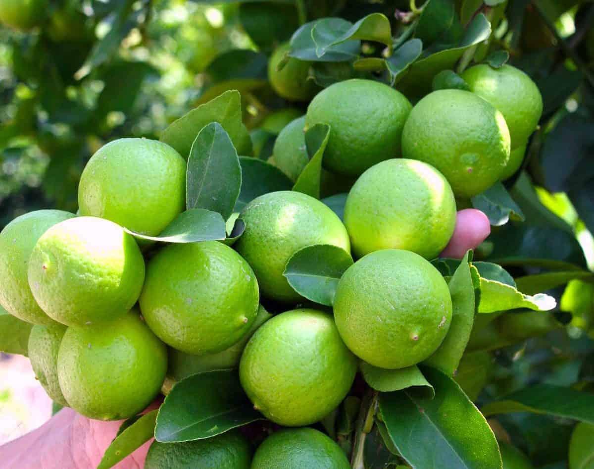 beneficios del limon valor nutricional, beneficios y propiedades medicinales del limón ¡e ID157143 - hermandadblanca.org