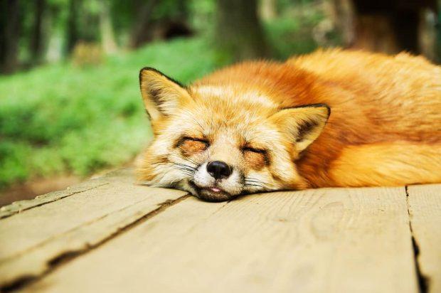 zorro durmiendo en consejos para dormir mejor consejos para dormir mejor ID157147 - hermandadblanca.org