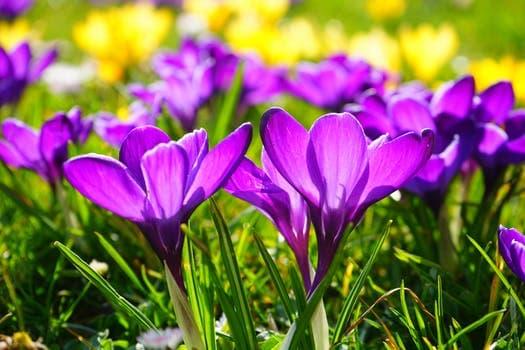 crocus flower spring buhen 55828 arcángel uriel: la manera más rápida de materializar y manifestar ID160519 - hermandadblanca.org