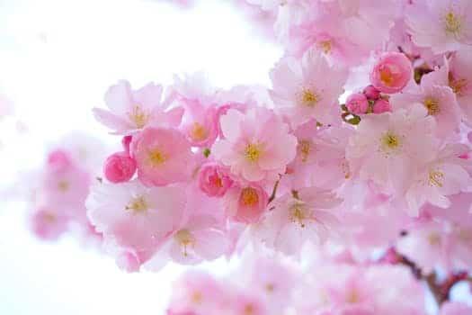 japanese cherry trees flowers spring japanese flowering cherry 54630 quan yin: ¡los resultados de tu trabajo de iluminación son magnífic ID160363 - hermandadblanca.org