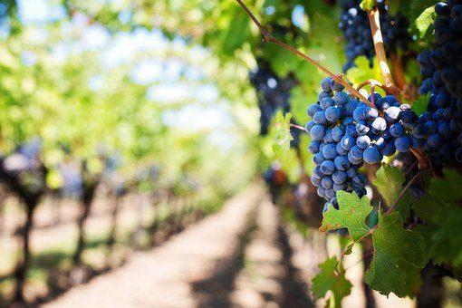 purple grapes 553463 340 jesús sananda: la compasión es la respuesta ID160311 - hermandadblanca.org