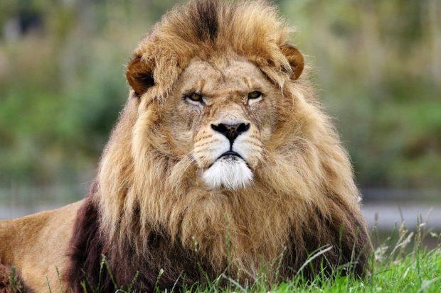 como ser un buen lider de familia leon con cara d emalo ¿como ser un buen líder de familia? ID170946 - hermandadblanca.org