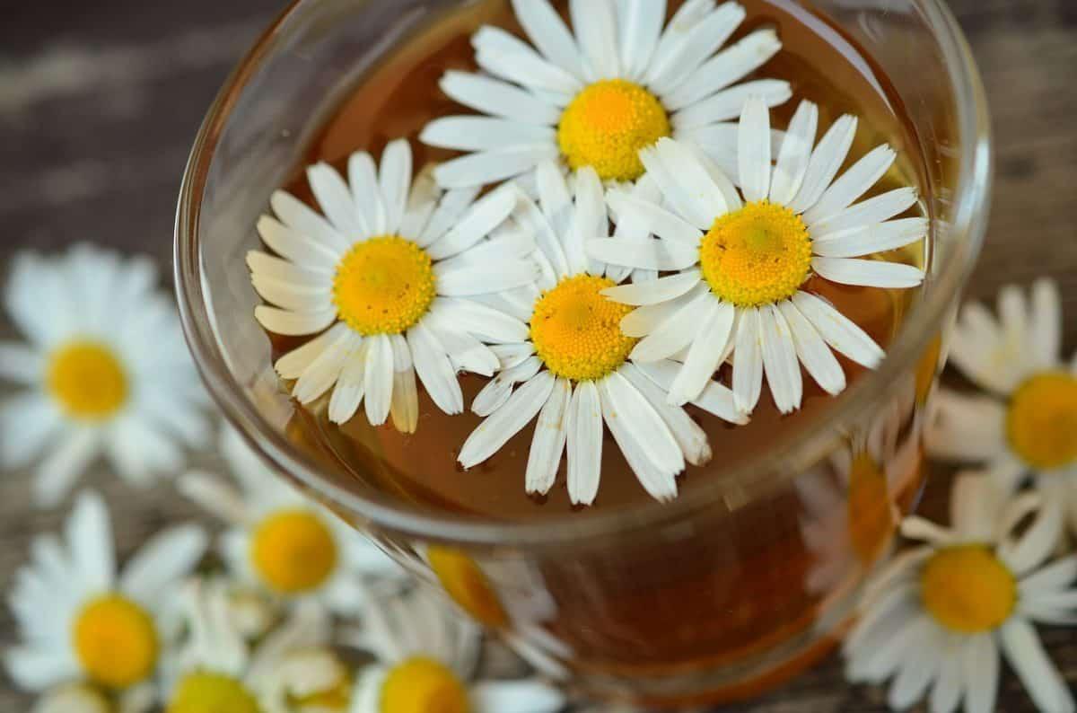 la manzanilla planta medicinal con sorprendentes propiedades y beneficios para tu salud la manzanilla: planta medicinal con sorprendentes propiedades y benefi ID170702 - hermandadblanca.org