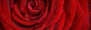 rosa madre divina: transferencia de la conciencia del cerebro al corazón  ID172572 - hermandadblanca.org