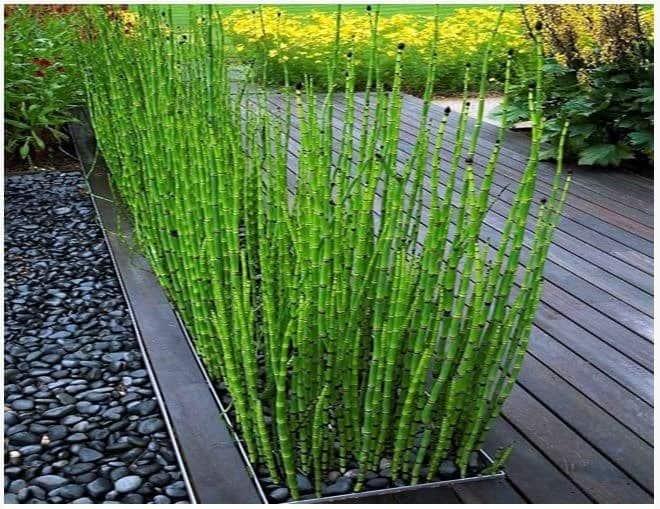 12 plantas medicinales cola de caballo 12 plantas medicinales que no pueden faltar en tu casa, ¡son extraord ID174283 - hermandadblanca.org