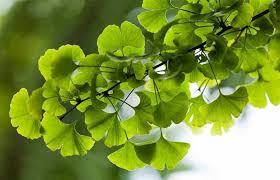 12 plantas medicinales ginkgo 12 plantas medicinales que no pueden faltar en tu casa, ¡son extraord ID174283 - hermandadblanca.org