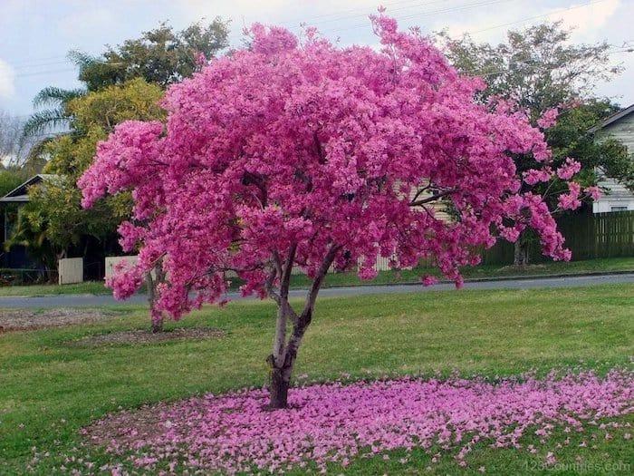 12 plantas medicinales lapacho 12 plantas medicinales que no pueden faltar en tu casa, ¡son extraord ID174283 - hermandadblanca.org