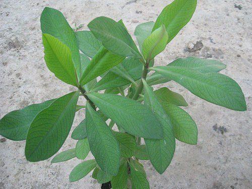 12 plantas medicinales moronel 12 plantas medicinales que no pueden faltar en tu casa, ¡son extraord ID174283 - hermandadblanca.org