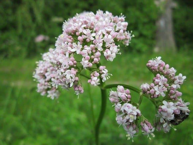 12 plantas medicinales valeriana 12 plantas medicinales que no pueden faltar en tu casa, ¡son extraord ID174283 - hermandadblanca.org