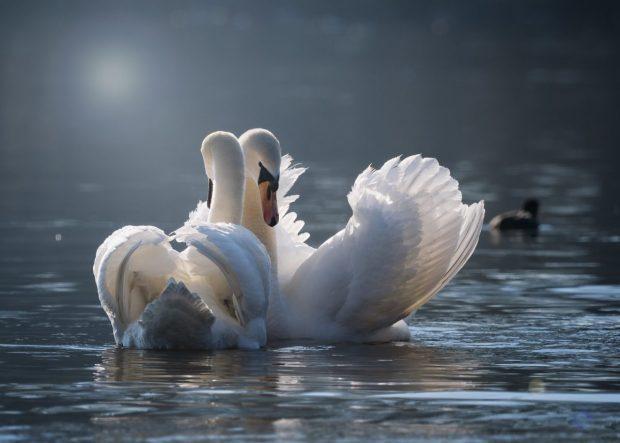 cisnes en paz y amandose en no soy feliz y me siento cada vez peor como puedo ser un poquito mas feliz no soy feliz y me siento cada vez peor ¿como puedo ser un poquito mas ID173997 - hermandadblanca.org