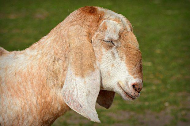 anglo nubian goat 4125953 1280 ¿en medio de una crisis? acá te contamos como salir aireoso y victor ID176569 - hermandadblanca.org