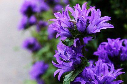 flores mensaje maestro saint germain: la capa de inmensidad de la llama viole ID175217 - hermandadblanca.org