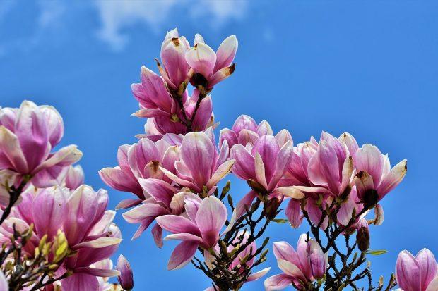 magnolia flor en en medio de una crisis aca te contamos como salir aireoso y victorioso de ella ¿en medio de una crisis? acá te contamos como salir aireoso y victor ID176569 - hermandadblanca.org